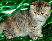 Экзотические котята питомника Бриз Балтики