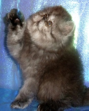 персидских и экзотических чистокровных котят питомника Бриз Балтики