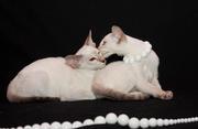 Ориентальные и сиамские котятки