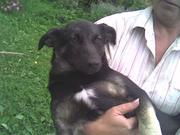 щенки крупных собак,  отдам даром,  в хорошие руки,  для охраны или в дом