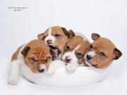Басенджи щенки