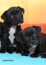 Продаются щенки стаффордширского бультерьера