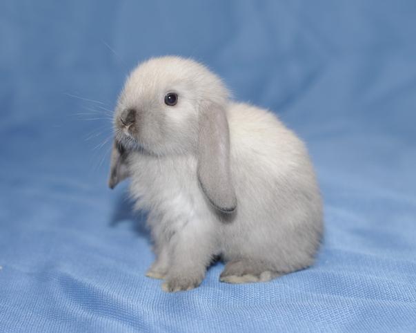 Прививки крольчатам рибофакт - 23