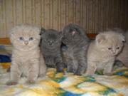 Продаются британские котята лиловые и голубые.